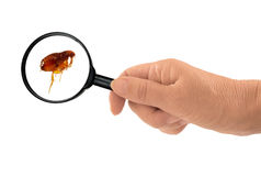 Flea under the magnifying glass - Siphonaptera Royalty Free Stock Images