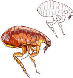 Flea. A vector image illustration(flea Royalty Free Stock Photo