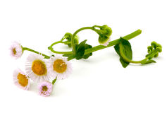 Fleabane Stock Photography