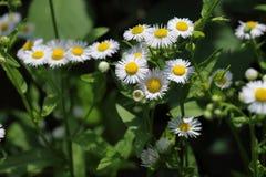 Fleabane annuel se développant d'annuus d'Erigeron ou fleabane de marguerite dans l'environnement naturel image libre de droits