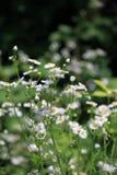 Fleabane annuel se développant d'annuus d'Erigeron ou fleabane de marguerite dans l'environnement naturel images stock