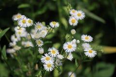 Fleabane annuel se développant d'annuus d'Erigeron ou fleabane de marguerite dans l'environnement naturel photo libre de droits