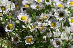 Fleabane annuel se développant d'annuus d'Erigeron ou fleabane de marguerite dans l'environnement naturel photos libres de droits