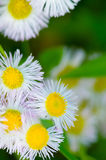 Fleabane-Erigeron annuus Stock Photos