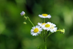 Fleabane Stock Photo