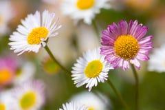 Fleabane mexicain (karvinskianus d'Erigeron) en fleur Photographie stock