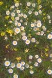 Fleabane oriental de marguerite Image stock