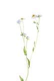 Fleabane oriental de marguerite (annuus d'Erigeron) d'isolement sur le blanc Photo stock