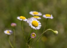 Fleabane Wildflower Cluster with Shallow DOF. The very shallow DOF gives this photo of a cluster of wildflowers an almost painted look. The largest bloom appears Royalty Free Stock Photography