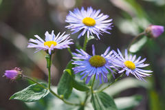 Fleabane Wildflowers and Buds Royalty Free Stock Photo