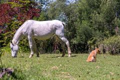 Fleabitten gray mare and a puppy stock images