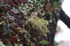 Flechte auf Baum lizenzfreie stockfotos