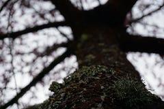 Flechte auf Baum stockfotografie