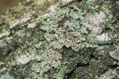 Flechte auf Baummakro stockbilder