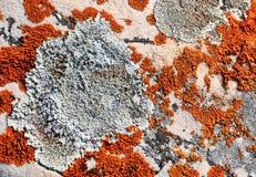 Flechte, die auf Felsen wächst In die Berge von Sibirien hoch steigen Lizenzfreies Stockbild