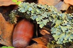 Flechte (Parmelia sulcata) stockfotografie