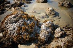 Flechte und Kelp-bedeckte Felsen bei Ebbe im Britisch-Columbia, Kanada Lizenzfreie Stockfotos