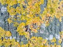 flechten Gelbe, grüne, orange und graue Flechten Lizenzfreie Stockfotos