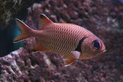 Fleckauge Soldierfish Stockfotos