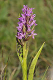 Flecked Marsh Orchid Stock Photography
