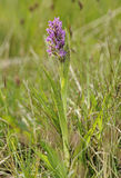 Flecked Marsh Orchid Royalty Free Stock Image
