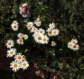 Flecken von weißen Gänseblümchen Stockbild