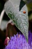 Fleckenloser Marienkäfer auf einem Blatt Stockbilder