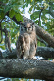 Fleckenuhu im Baum, der Kamera gegenüberstellt Stockbilder