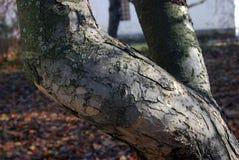 Flecks солнечного света на коре дерева Природа русского леса осени Стоковые Изображения