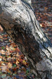 Flecks of sunlight on a tree bark. Autumn forest. Russian nature. Royalty Free Stock Image