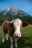 Fleckvieh cow Royalty Free Stock Photography