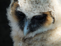 Fledgeling baby owl long eared barn owl. Fledgeling baby long eared or barn owl in closeup on a black background Royalty Free Stock Images