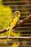 Fledgeling budgie. Pretty fledgeling budgie dozing on a branch Royalty Free Stock Photos