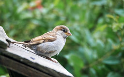 Fledgeling House Sparrow. A newly fledged House Sparrow on a rooftop. Passer domesticus Royalty Free Stock Image