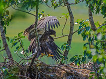Fledging Bald Eagle Stock Image