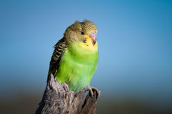 Fledging Budgerigar Stock Photo