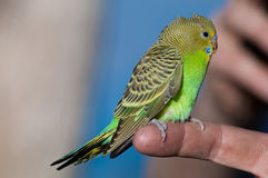 Fledging Budgerigar Royalty Free Stock Image