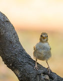 Fledging House Sparrow on branch Royalty Free Stock Image