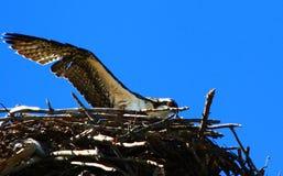 Fledging Osprey Stock Image