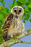 Fledgling Barred Owl. (Strix varia).  Shot at Brazos Bend State Park, near Houston, Texas Stock Photo