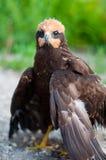 Fledgling birds of prey in nature Stock Images
