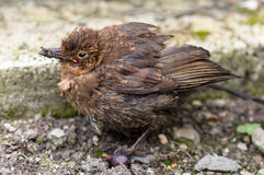 Fledgling Blackbird fatally wounded from a cat attack. Fledgling Common Blackbird, Turdus merula, Eurasian Blackbird fatally wounded from a cat attack Stock Photo