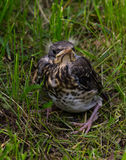 The fledgling  Fieldfare Royalty Free Stock Images