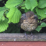 A fledgling blackbird staring at the camera Royalty Free Stock Images