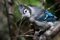 Fledgling Blue Jay Royalty Free Stock Photography