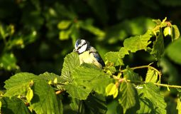 Fledgling Blue tit perched on Hazel branches. This gorgeous fluffy baby blue tit searching for insects among the hazel leaves royalty free stock photography