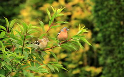 A Fledgling Chaffinch with its Father Stock Images