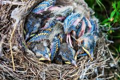 Song thrush chicks sitting in nest. Fledgling chicks Song thrush sitting in nest, life nest with chicks in the wild Royalty Free Stock Images