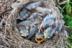 Song thrush chicks sitting in nest. Fledgling chicks Song thrush sitting in nest, life nest with chicks in the wild royalty free stock image