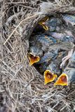 Song thrush chicks sitting in nest. Fledgling chicks Song thrush sitting in nest, life nest with chicks in the wild royalty free stock photos